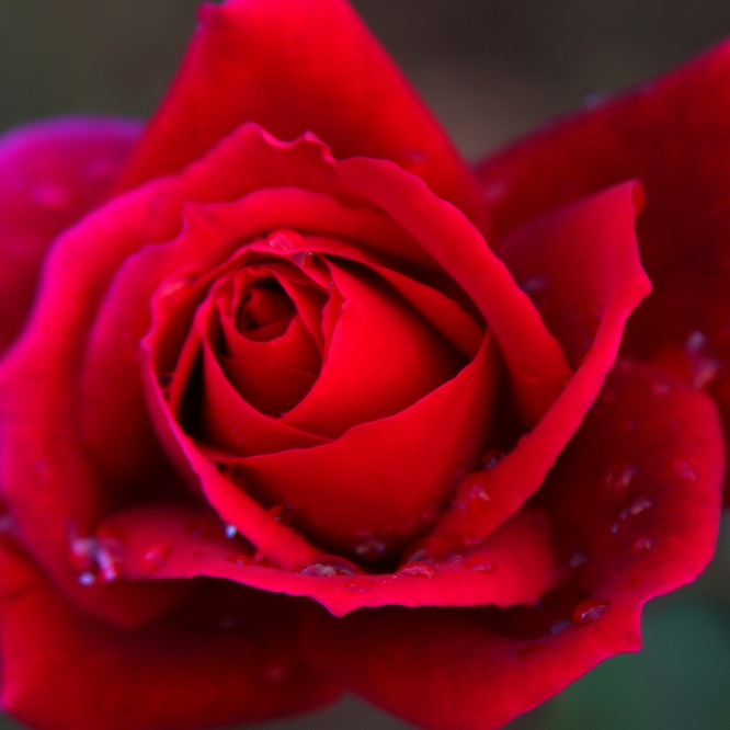 """Red Rose"" von Christina Phelps auf Flickr"